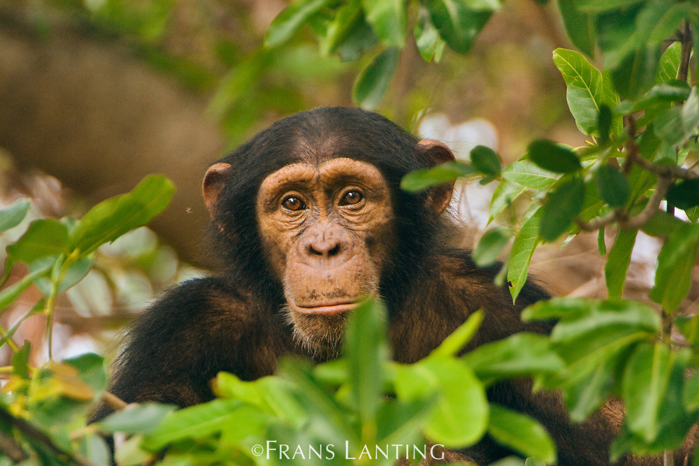 Chimpanzee young male, Pan troglodytes verus, Fongoli, Senegal