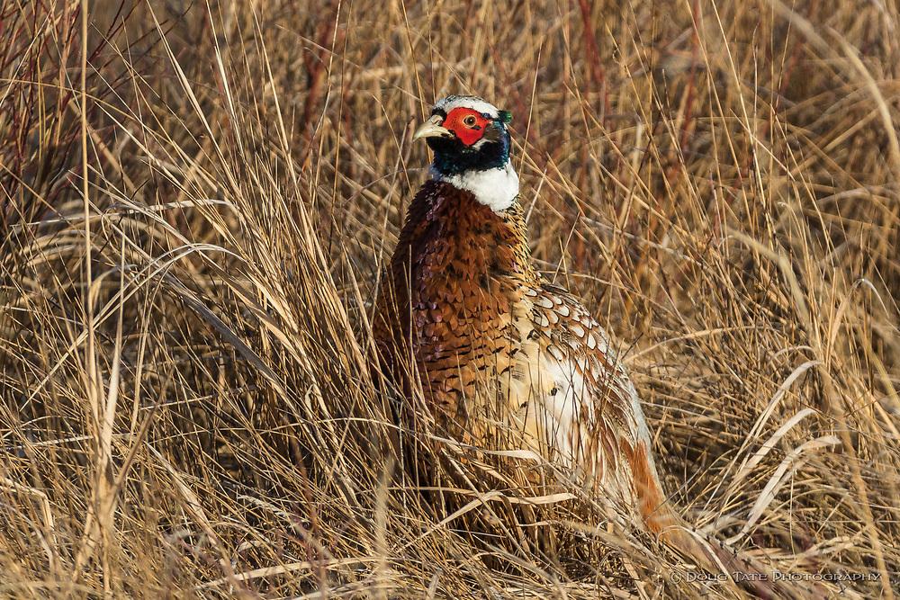 Ringneck Pheasant