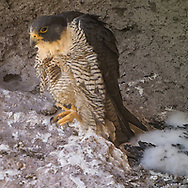 Adult female peregrine falcon stands in eyrie, pausing from preening her breast feathers as nestlings sleep nearby, © 2013 David A. Ponton [photo by motion-activated camera, low-resolution limits repro. size]
