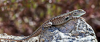 Uta stansburiana elegans (Western Side-blotched Lizard) at Grizzly Flat, Los Angeles Co, CA, USA, on 24-Sep-17