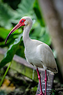 The American white ibis (Eudocimus albus) is a species of bird in the ibis family, Threskiornithidae. It is found from Virginia via the Gulf Coast of the United States south through most of the coastal New World tropics.[2] This particular ibis is a medium-sized bird with an overall white plumage, bright red-orange down-curved bill and long legs, and black wing tips that are usually only visible in flight