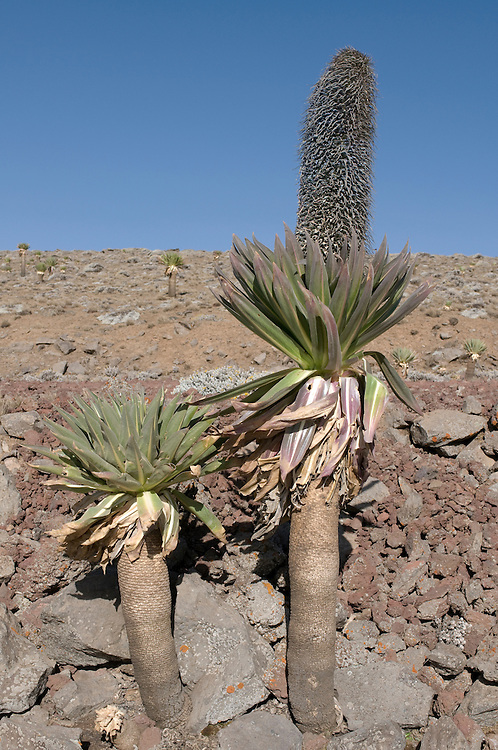 High alpin plants in the Bale mountains,Ethiopia,Africa