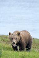 Grizzly Bear Cub Feeding on Grass at SIlver Salmon Creek, Lake Clark National Park, Alaska
