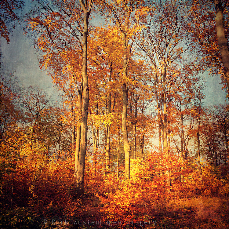 Tall standing beech trees in afternoon sun light - texturized photograph