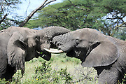 Africa, Tanzania, Serengeti National Park two male African Bush Elephant (Loxodonta africana) locking tusks