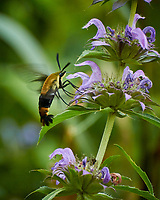 Snowberry Clearwing Moth feeding on a Bee Balm flower. Image taken with a Nikon N1V3 camera and 70-300 mm VR lens