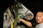Soma, Fukushima prefecture, July 25 2015 - Early morning before the Sunday race, Kazuhiko ITO and other local residents are preparing the horses for the festival.<br /> The Soma nomaoi is said to be a 1000-year-old traditional festival. It was held in 2011, a few months after the nuclear disaster, but only a few local horses were available.