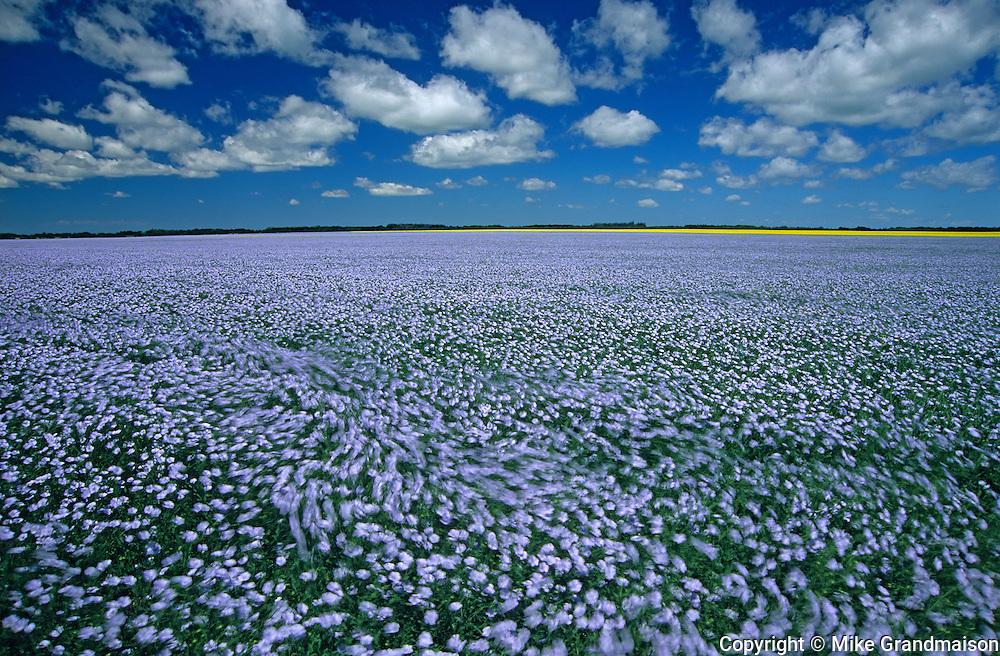 flax field  in the wind<br /> Treherne<br /> Manitoba<br /> Canada