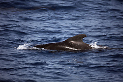 ATLANTIC OCEAN 24OCT14 -  A short-finned Pilot whale in the Atlantic Ocean off the coast of Guinea.<br /> <br /> <br /> <br /> jre/Photo by Jiri Rezac / Greenpeace<br /> <br /> <br /> <br /> <br /> © Jiri Rezac 2014