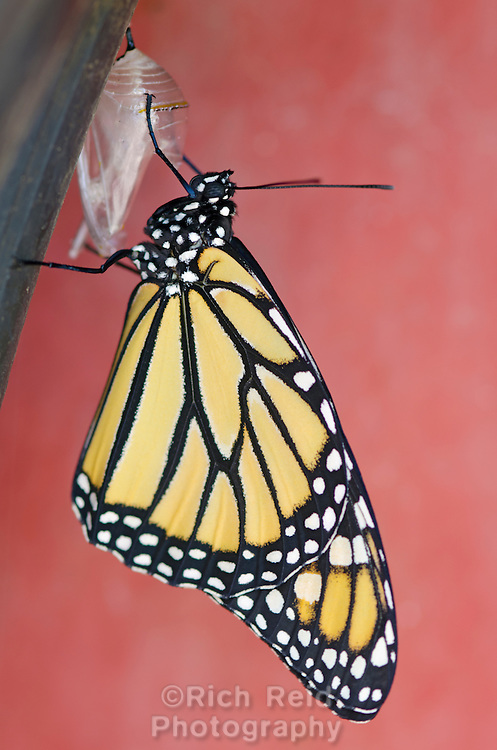 Monarch butterfly, Danaus plexippus attached to its chrysalis during its first hour of life in Oak View, California.