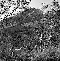 Geiter.<br /> Foto: Svein Ove Ekornesv&aring;g