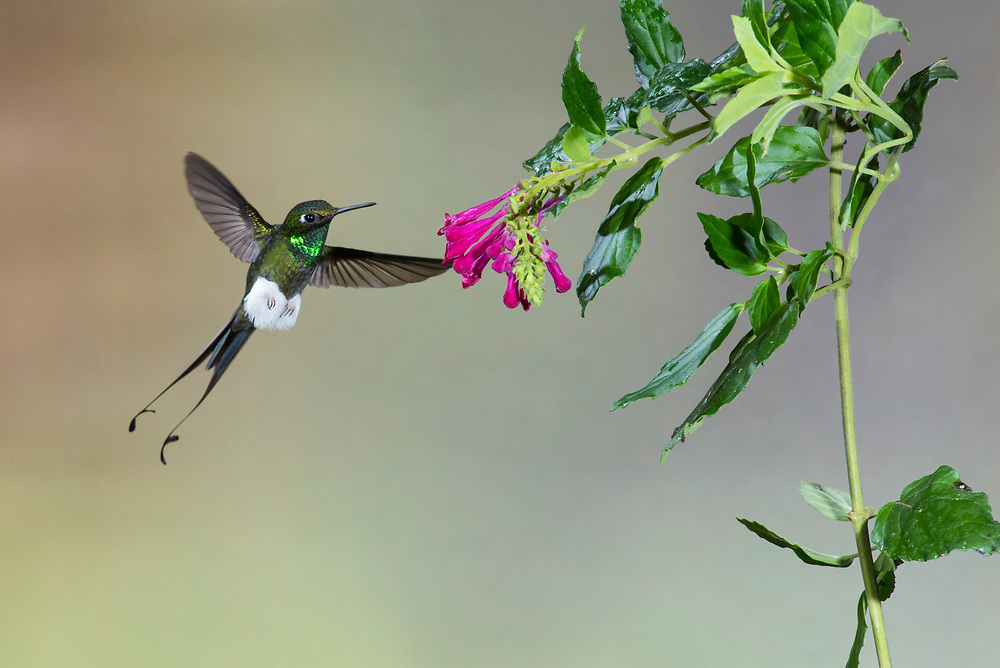 Booted Racket-tail, Ocreatus underwoodii, male, Nanegalito, Ecuador