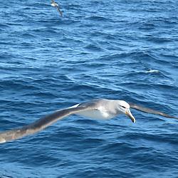 Albatross, Unknown
