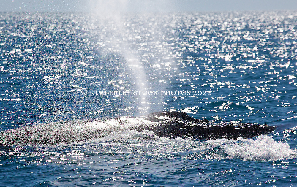 A humpback whale bull blows as he engages with competing bulls of Willie Creek, north of Broome.