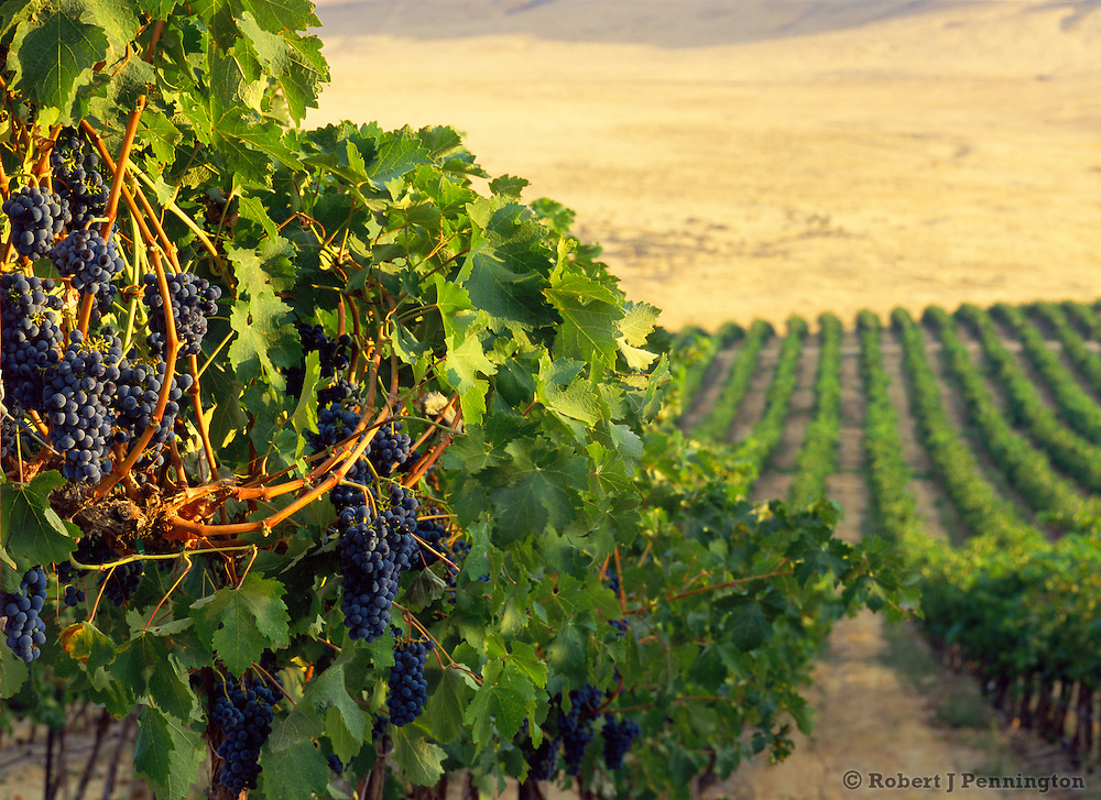 Morning sun on grapes ready for the wine harvest in Eastern Washington's Yakima Valley.