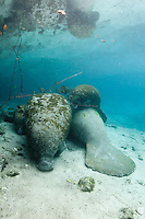 Florida manatee, Trichechus manatus latirostris, a subspecies of the West Indian manatee, endangered. A mother manatee rests with twin female calves in the warm springs on a cold winter day. Twins are rare and these are not documented but evidence suggests they are twins and not a calf plus an adoptee. One calf rests on top of another manatee. Fish, bream, Lepomis spp. are present. Rare series. Vertical orientation with blue water from the spring head. Three Sisters Springs, Crystal River National Wildlife Refuge, Kings Bay, Crystal River, Citrus County, Florida USA.