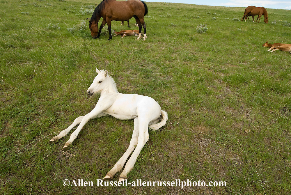 Quarter Horses, gray colt resting in pasture with herd<br /> PROPERTY RELEASED