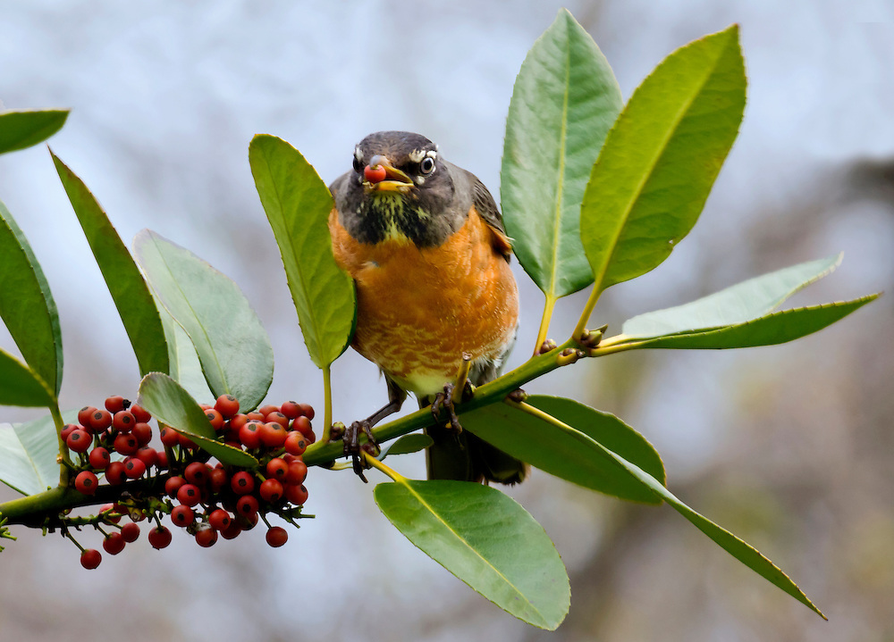 A robin snags a berry in a bush behind the lily pond area.