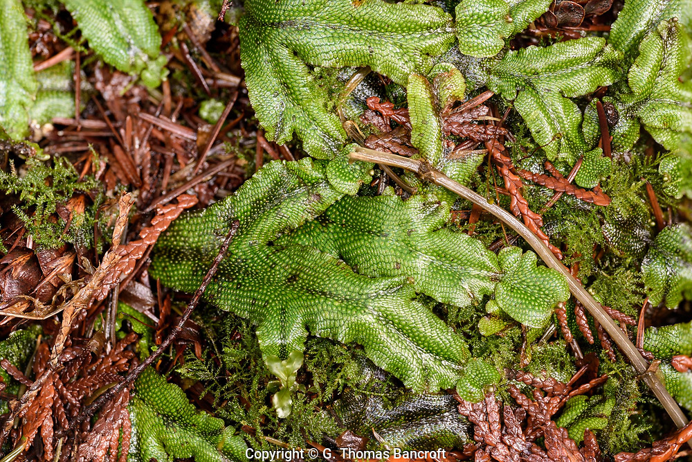 Snake Liverwort - Thalloid, flattened, ribbon-like, Pleasant odor; Hexagonal markings, each with central dot; moist, inorganic soils