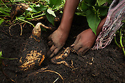 Women harvest sweet potatoes on a farm run by a local farmer's group in the village of Mwazonge, roughly 30km southwest of Mwanza, Tanzania on Sunday December 13, 2009..