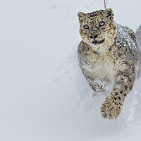 Wild Snow Leopard Photographed in the Mighty Mountains of Indian Himalayas by Sagar Gosavi. Altitude 15000ft to 16000ft. <br />
