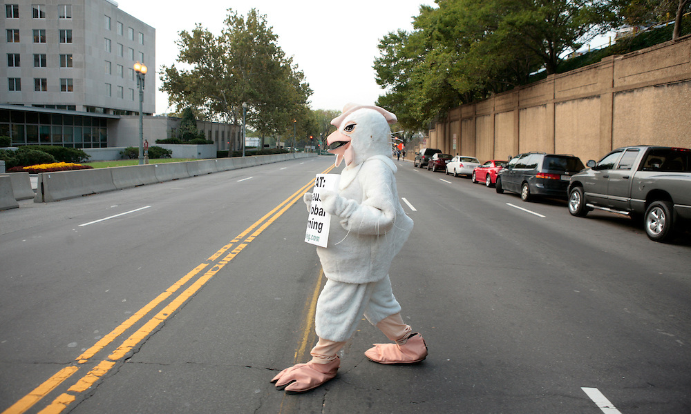 A protester from People for the Ethical Treatment of Animals (PETA) dressed as a chicken crosses the road outside the U.S. State Department headquarters where a global climate summit was taking place in Washington, D.C. USA on 27 September 2007. PETA says that the meat industry is more responsible for global warming than automobiles. U.S. President George W. Bush will speak to delegates at the summit tomorrow.