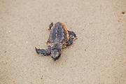 Loggerhead Sea Turtle Hatchling with Deformed Flipper
