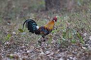Red junglefowl, Kanha Tiger Reserve, India