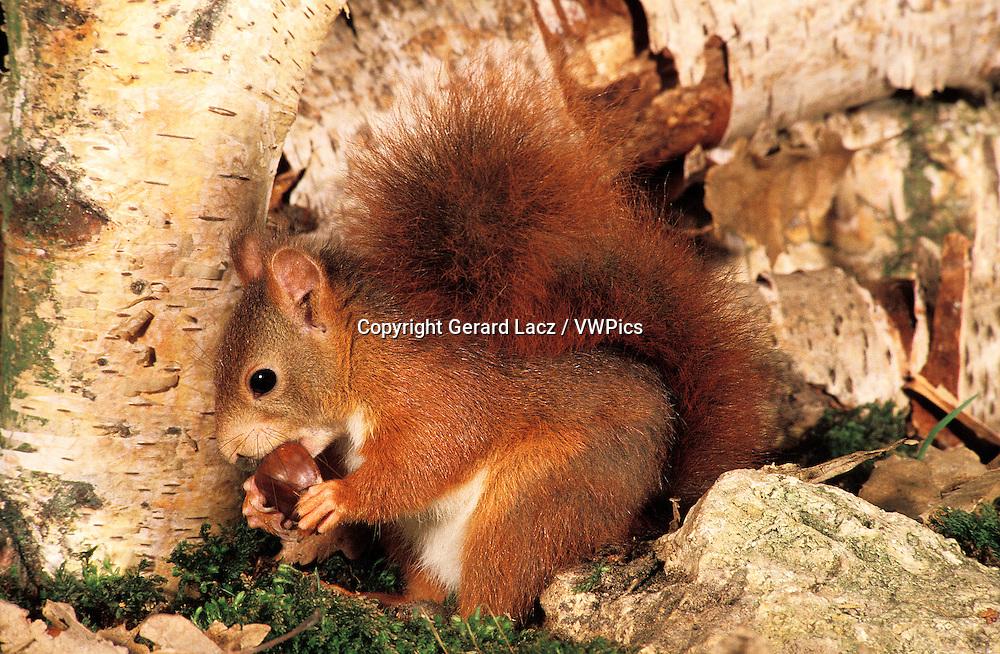 Red Squirrel, sciurus vulgaris, Male eating Chestnut