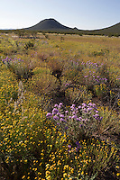 Prairie Verbena, (Glandularia bipinnatifida), and Huisache Daisy, (Amblyolepis Setigera), at Big Bend Ranch State Park, Texas