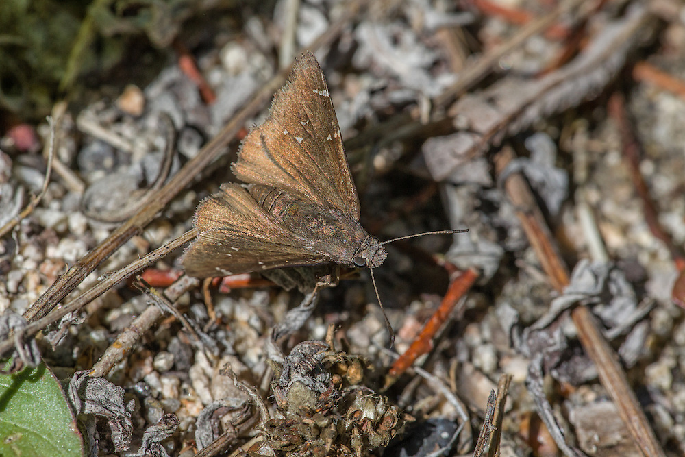 Thorybes pylades indistinctus (Northern Cloudywing) at Big Bear, San Bernardino Co, CA, USA, on 10-Jul-11