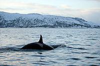 Killer whale, Orca, Orcinus orca, Lofoten, Norway