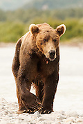 USA, Katmai National Park (AK).Brown bear (Ursus arctos)