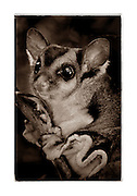 Squirrel Glider (Petaurus norfolcensis) is a nocturnal gliding mammal endemic to Australia.  They are fruit and insects.