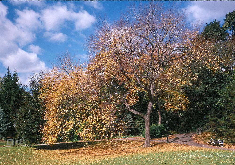 An American Elm in autumn colors at Cedar Hill in Central Park