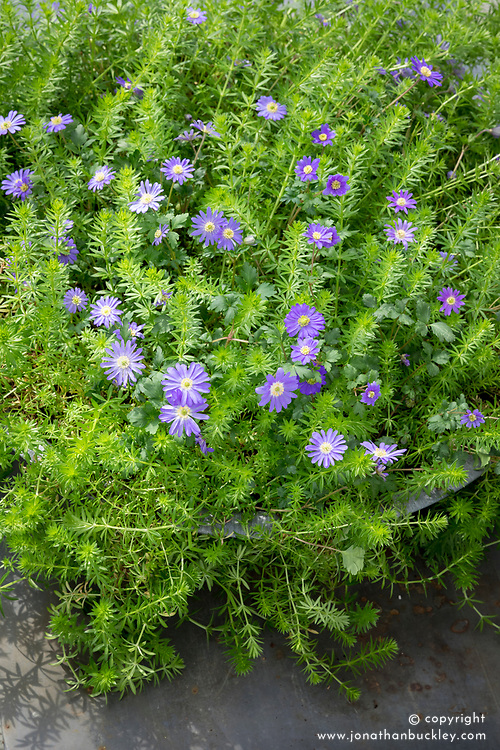 Anemone blanda 'Blue' with phuopsis in container.