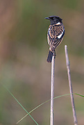 Common stonechat (Saxicola torquatus, male) from Kaziranga NP, Assam, India.