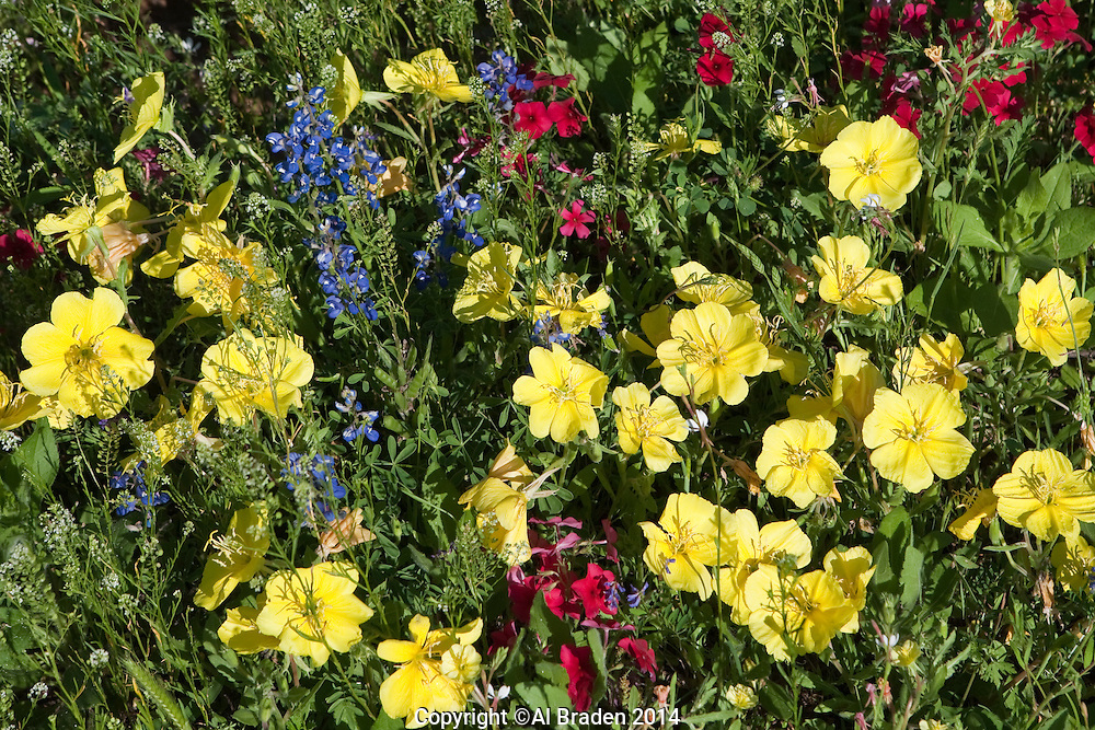Yellow Evening Primrose with Phlox and Bluebonnets, Gonzales County