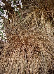 Carex comans bronze-leaved (Bronze New Zealand hair sedge)