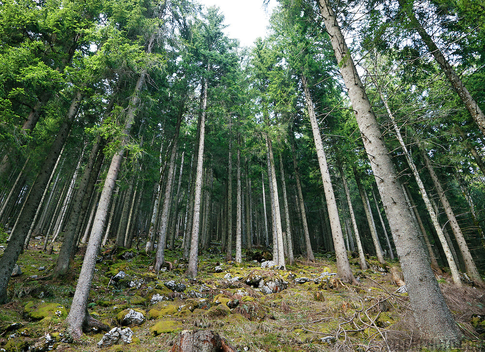 A coniferous forest in the Swiss Alps near Mount Rigi.