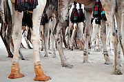 Amid the camels' legs before the beginning of the 10th edition race of the Festival au Désert in Timbuktu.