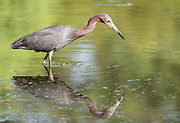 Little Blue Heron hunting for frogs among the beautiful reflecting water.  Chincoteague Virgina