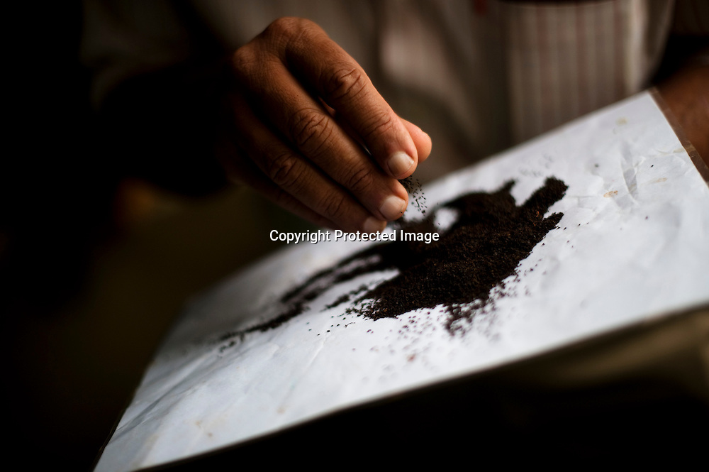 Andrew Taylor, a descendant of James Taylor, the man credited with bringing tea to Sri Lanka, feels the coarseness of freshly processed tea at the plant of the Bogawantalawa Tea Estates near the town of Hatton in central Sri Lanka December 13, 2009. After being picked leaves are wilted overnight then dried and ground with in 24 hours to produce tea for auction.