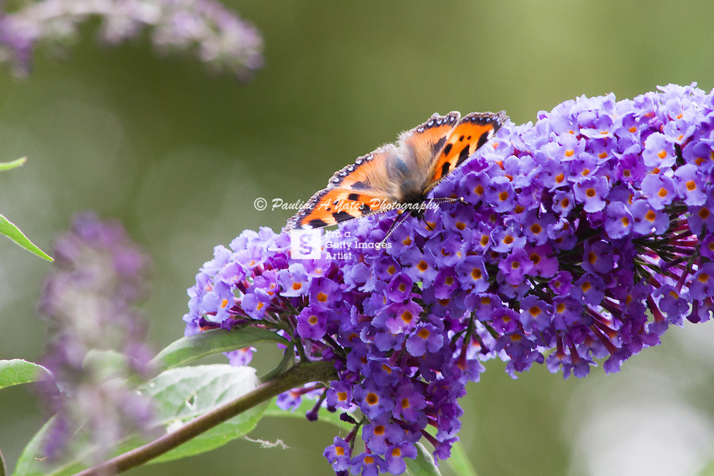 A Tortoiseshell butterfly rests on a flowering shrub, wings open to the summer sun.