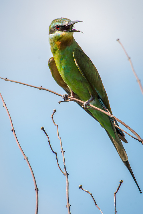 The brightly colored green bee-eater perches on a branch in the Chobe National Park - Botswana
