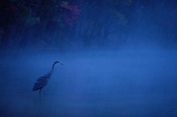 """Dusk Heron"".A great blue heron standing in Walden Pond in a fall snow storm at dusk."