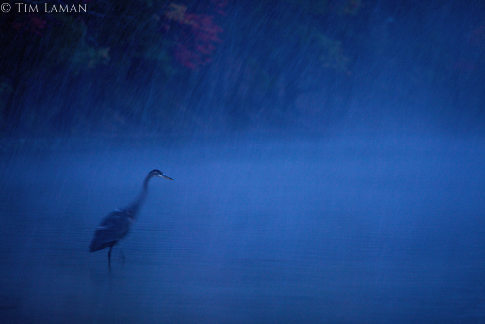 """""""Dusk Heron"""".A great blue heron standing in Walden Pond in a fall snow storm at dusk."""