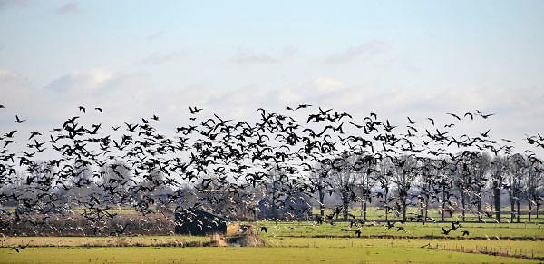 Nederland, Ubbergen, 19-2-2013Wilde grauwe ganzen in de Ooijpolder.Foto: Flip Franssen/Hollandse Hoogte