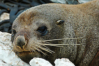Closeup of a seal resting on some rocks. Wildlife and nature photography wall art. Nature photography for sale.