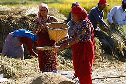 October 20, 2016 - Kathmandu, Nepal - Nepalese farmers harvests paddy in Bade gaun village at Lalitpur, on the outskirts of Kathmandu, Nepal on October 20, 2016. (Credit Image: © Sunil Pradhan/NurPhoto via ZUMA Press)